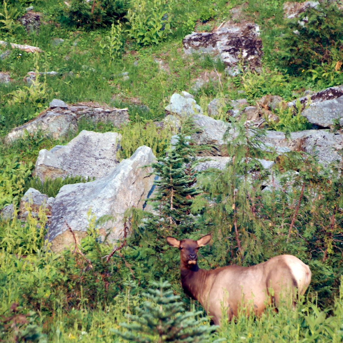 Elk on Mount Rainier