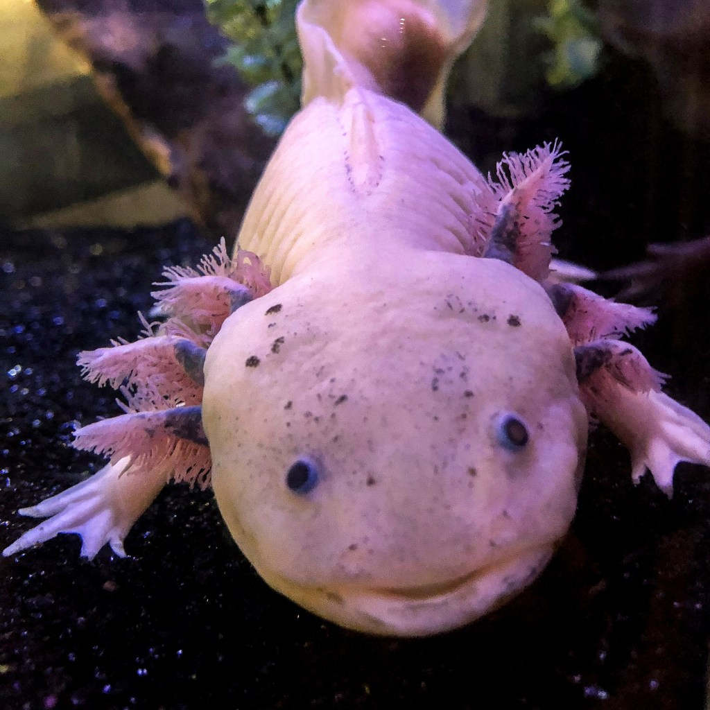 Axolotl at the California Science Center #axolotl