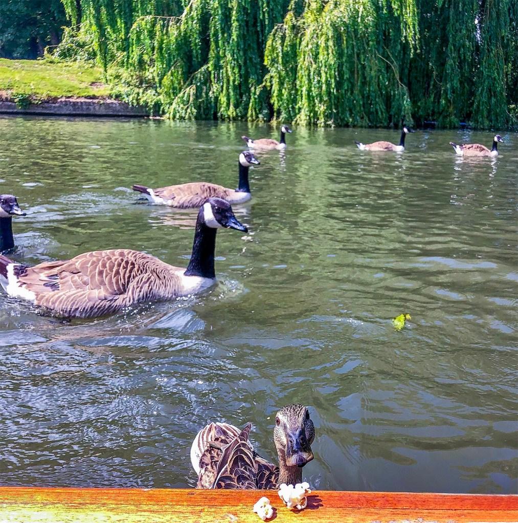 Insta duck