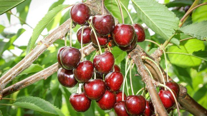 Kirschenernte: Viele süße Früchte von bester Qualität erwartet