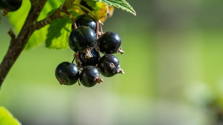 Weniger Schwarze Johannisbeeren aus Niedersachsen