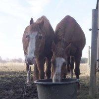 Wie Pferde trinken