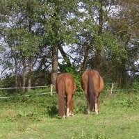 Pferde-Quiz für Fortgeschrittene