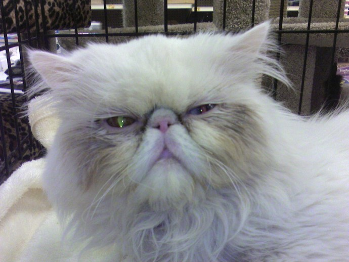 Older Persian cat with quite a face