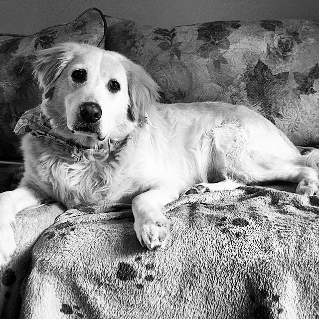 A black and white image of Hamlet, the dog, lounging on the couch