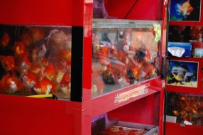 Goldfish galore