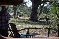 Kudu and Nyala in our backyard