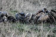 Vultures work on buffalo
