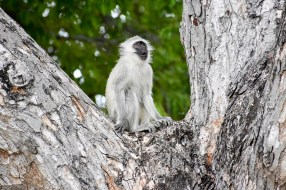 Vervet monkey has an epiphany
