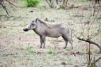 Donald Trump warthog