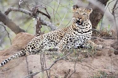 Leopard mid-yawn
