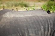 Oxpeckers