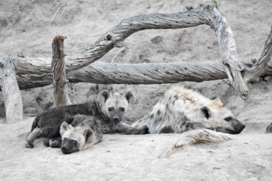 Young hyenas