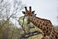 Giraffe chews jawbone for minerals