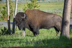 Bison in front of Lake Lodge