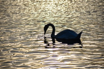 Swan - Serpentine Lake, Hyde Park