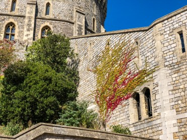 Windsor castle vine