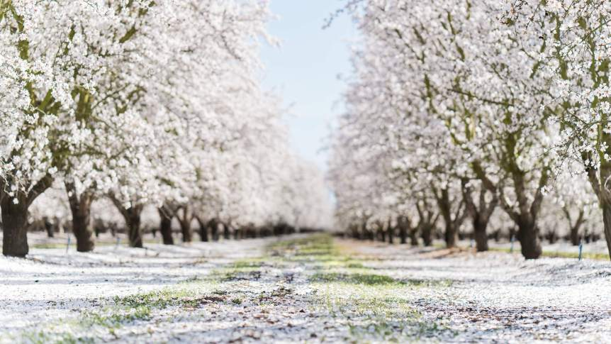 Almond Orchard Blossoms Northern California