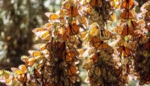 stock-photo-monarch-butterflies-in-their-wintering-grounds