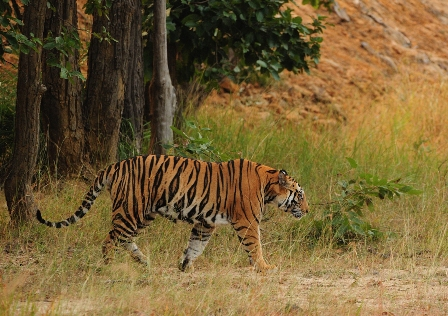 Tiger in Corbett