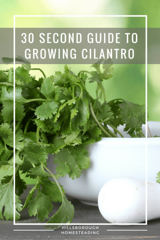 30 Second Guide to Growing Cilantro