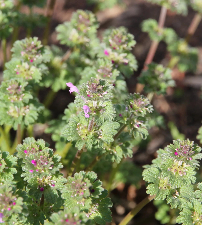 Wild Edible: Henbit