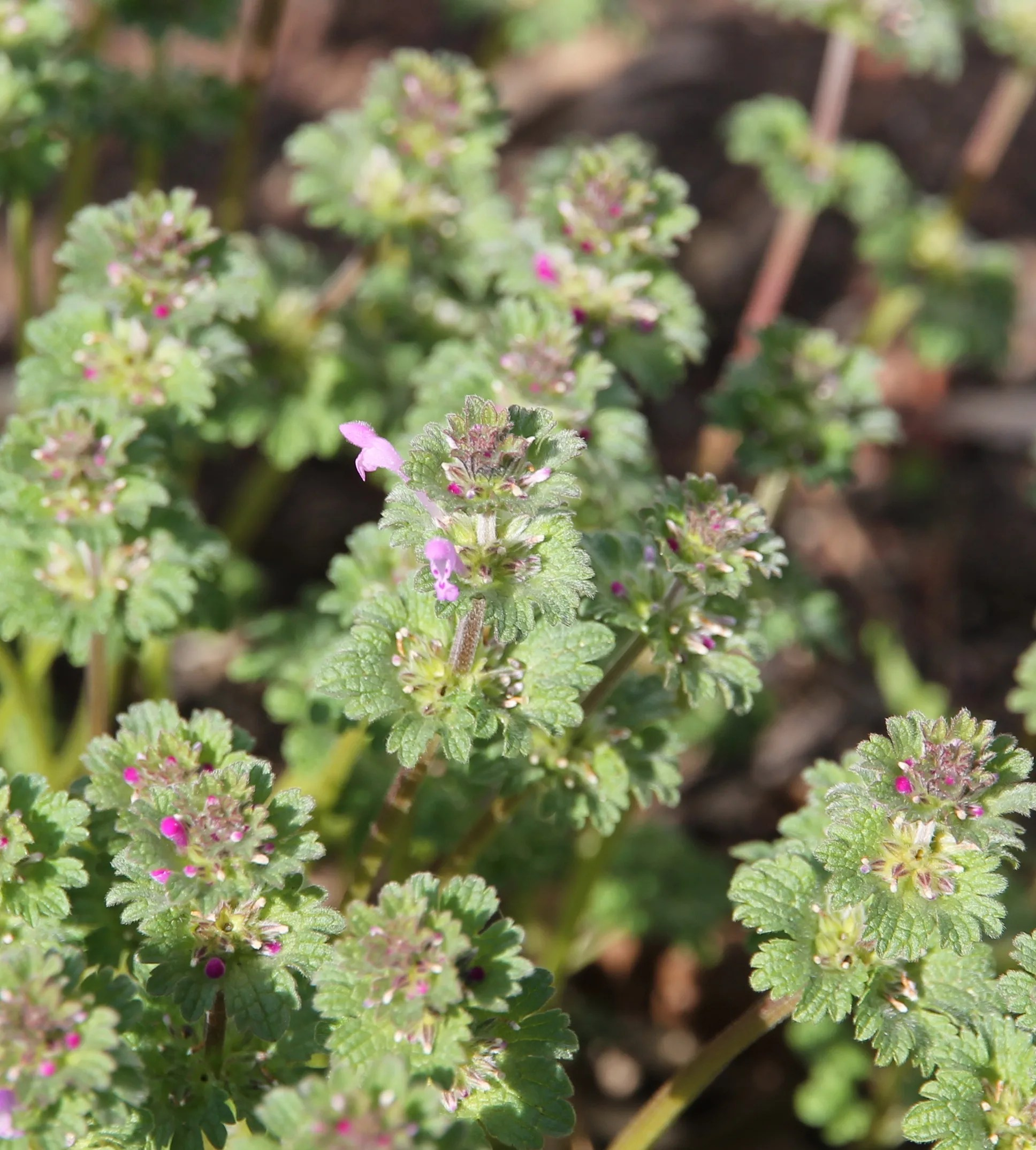 Foraging For Wild Edibles: Henbit