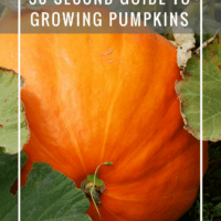 30 Second Guide To Growing Pumpkins