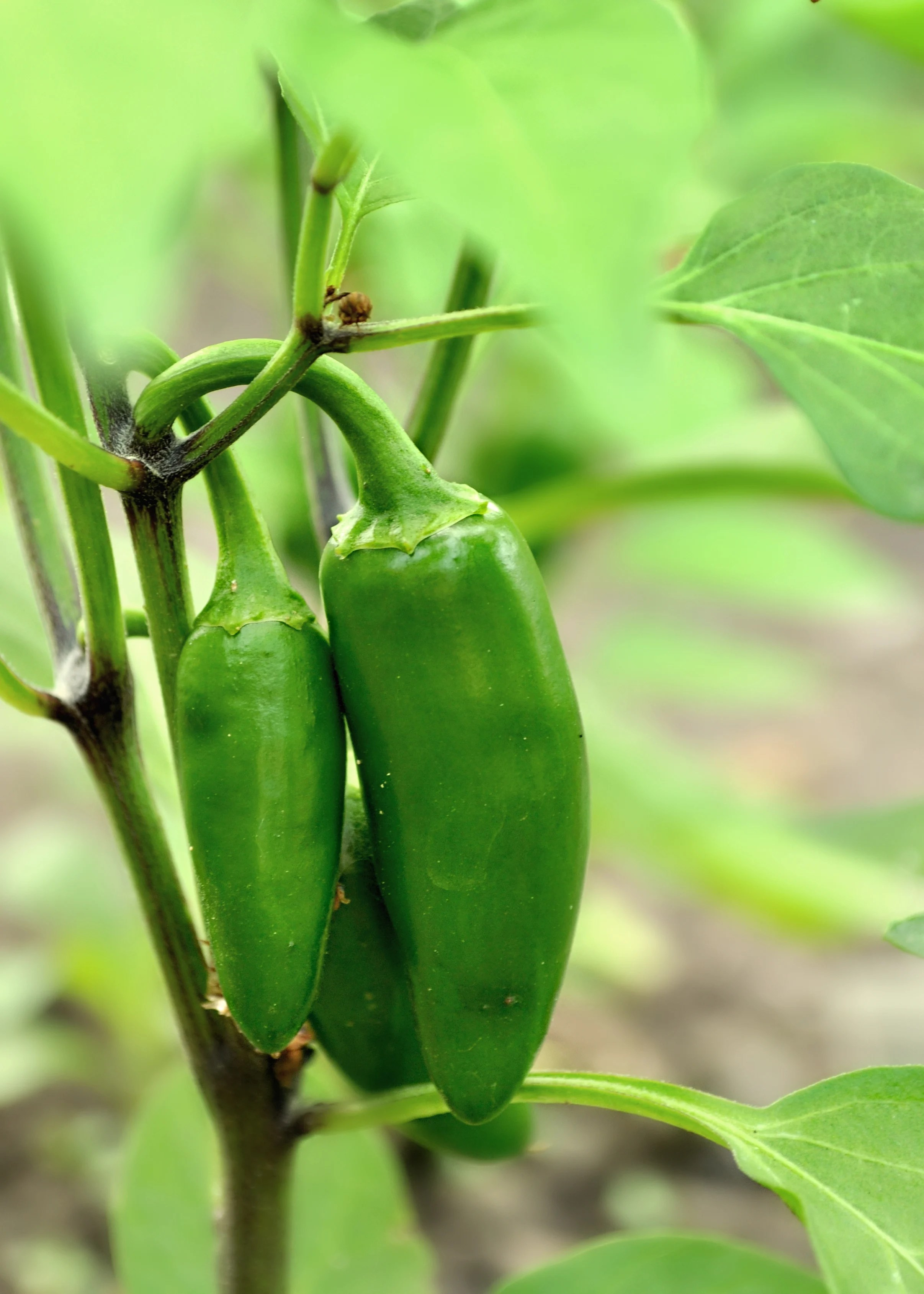 30 Second Guide to Growing Peppers