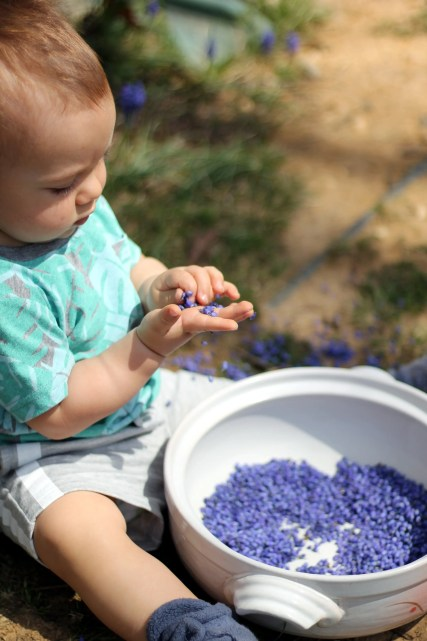 harvesting grape hyacinth