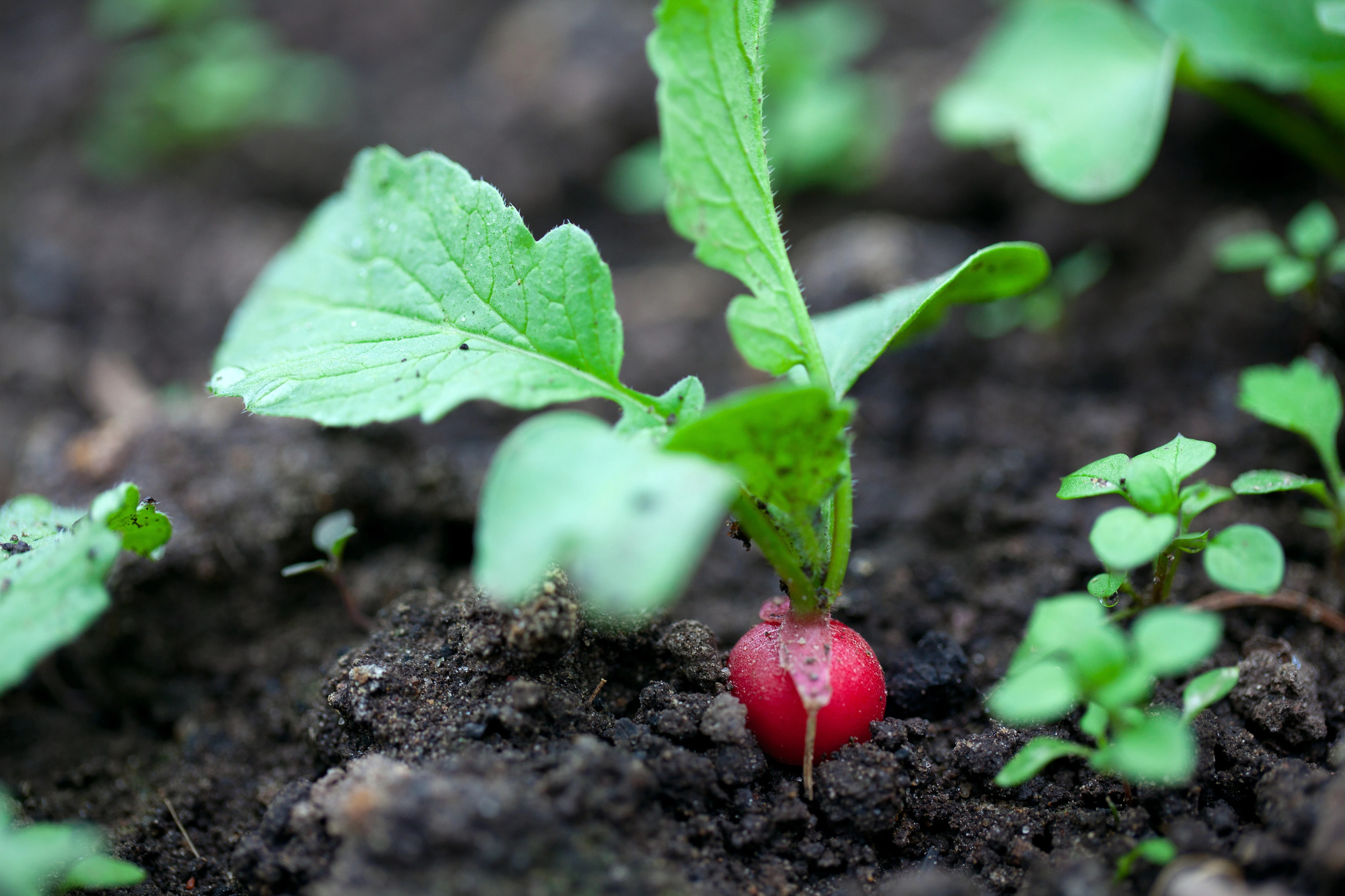 30 Second Guide to Growing Radishes