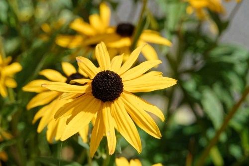 how to use rudbeckia in companion planting