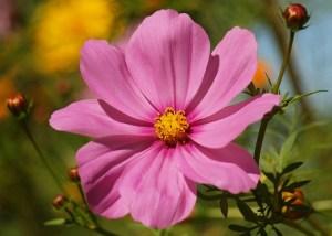 cosmo flower companion planting