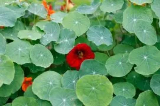 nasturtium companion planting vegetable garden guide