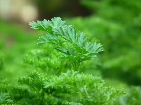 how to use parsley in companion plants planting vegetables garden gardening
