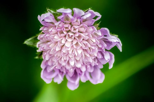 pincushion-flower scabiosa how to use in companion planting