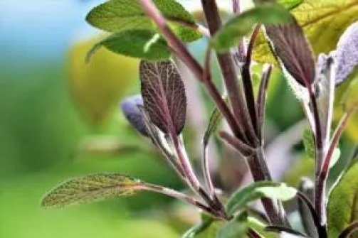 how to use sage in companion planting plants garden