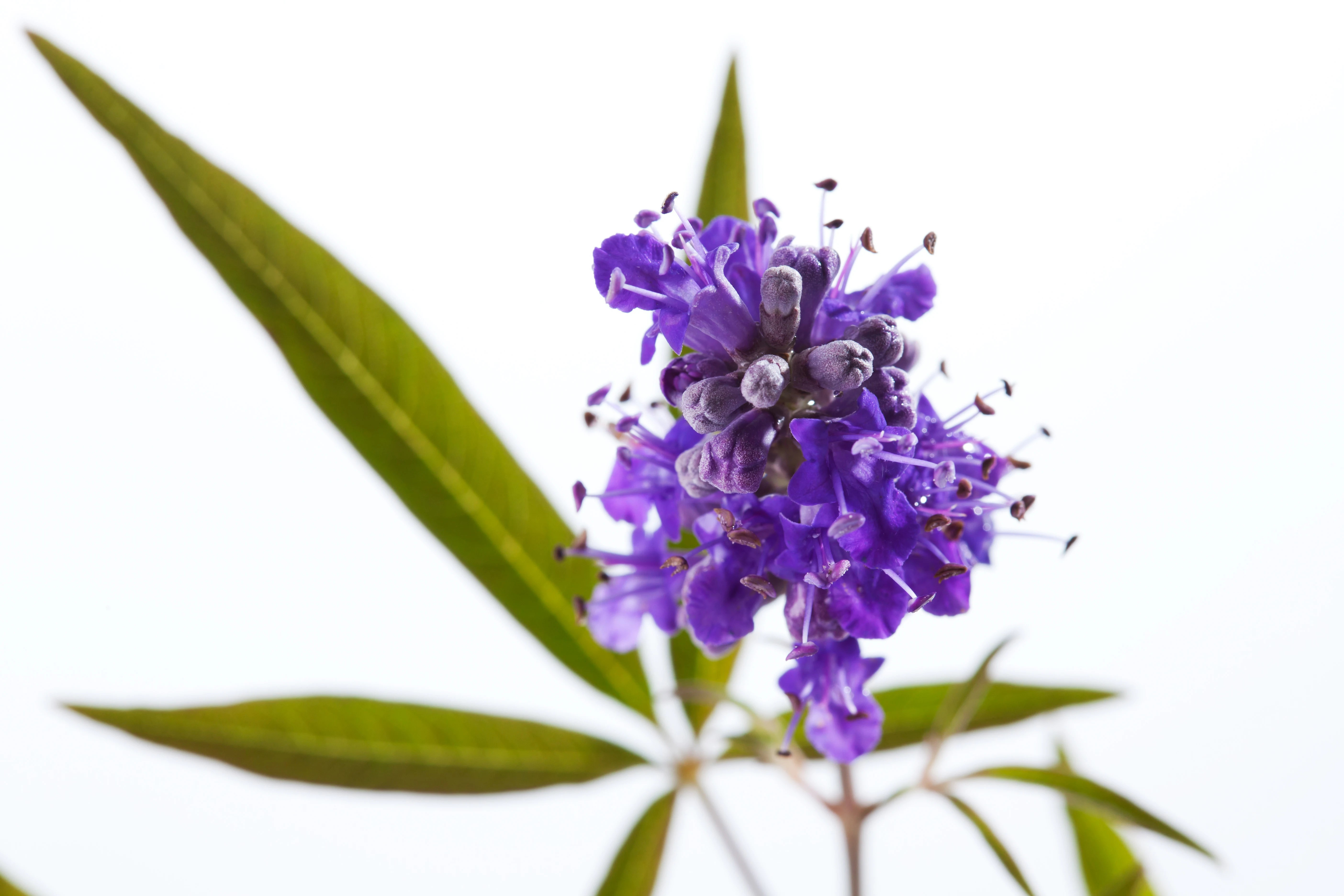Plant Profile: Vitex (Chasteberry)