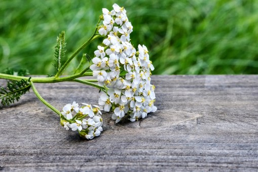 how to use yarrow in companion planting plants vegetable garden
