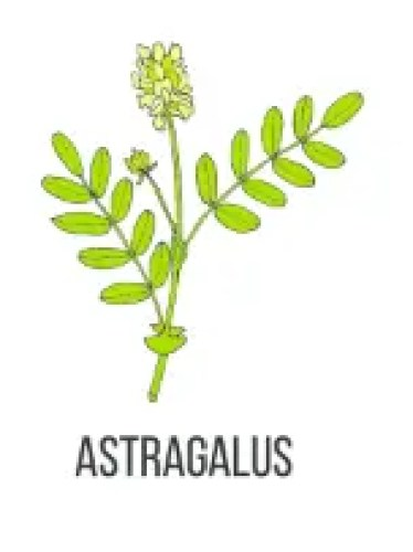 Astragalus To Treat Allergies