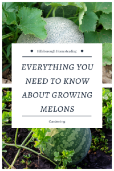 how to grow melons from seed in containers vegetable garden homesteading permaculture organic in rows