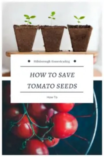 how to save tomato seeds permaculture self-sufficiency seed saving vegetable garden grow food