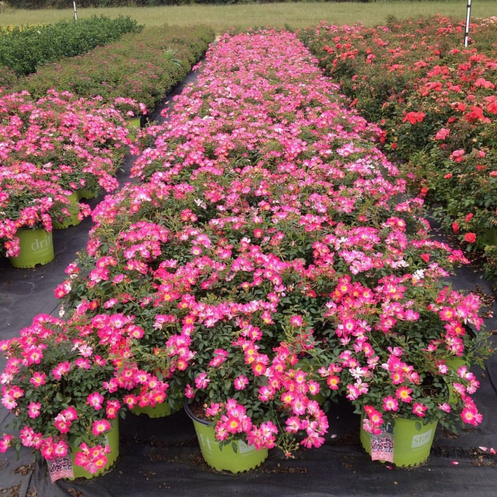Pink Drift Roses – Hillside Ornamentals Wholesale Nursery