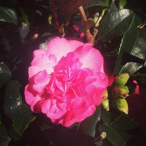 Our linda sasanqua camellia