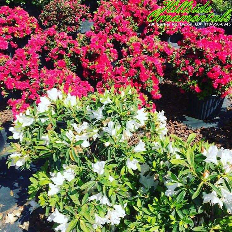 Hershey Red & George Tabor Azaleas
