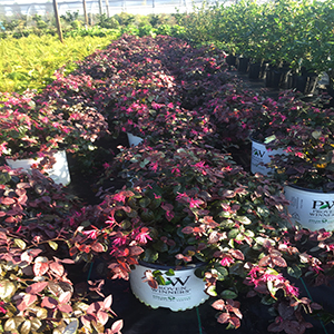This week the Jazz Hands Bold Loropelum are in bloom as well as the Lime light Hydrangeas.