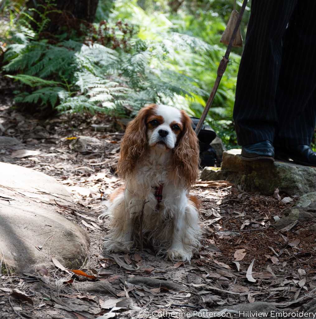 a little cavalier King Charles spaniel enjoying his bushwalk