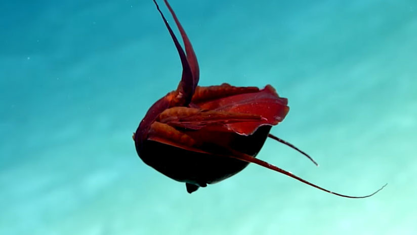 "Descubren una ""extraña"" criatura en el golfo de México (VIDEO)"