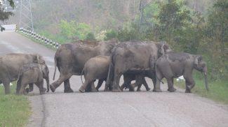 elephant herd crossing national highway BNP