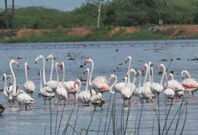 pong-dam-flamingo